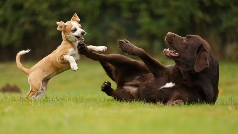 young puppy dog plays boisterously and happily with an older adult dog on a grass lawn