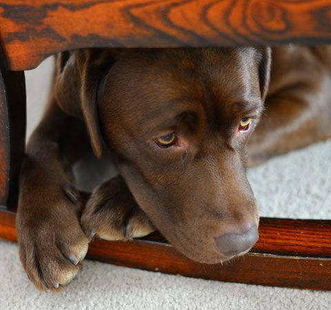 Anxious brown labrador dog waits for owner. Some pets have post lcokdown anxiety our article offers some guidance.