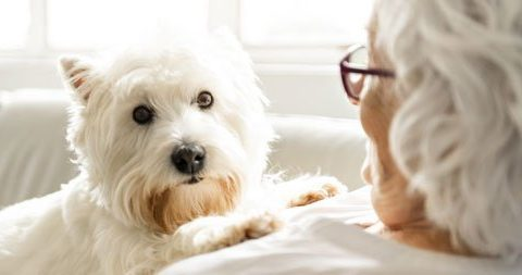Sweet white terrier dog cuddling semior lady. Dog therapy comforting owner with dementia