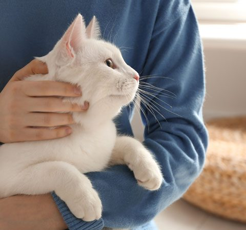 beautiful white cat cuddles with female owner in a lovely home